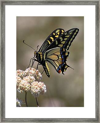 Anise Swallowtail Framed Print