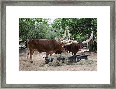 Ankole-watusi Longhorns At The Houston Zoo Framed Print by Carol M Highsmith