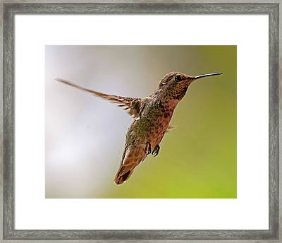 Framed Print featuring the photograph Anna's Hummingbird H24 by Mark Myhaver