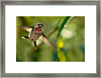 Anna's Hummingbird In Landing Position Framed Print by Laura Mountainspring