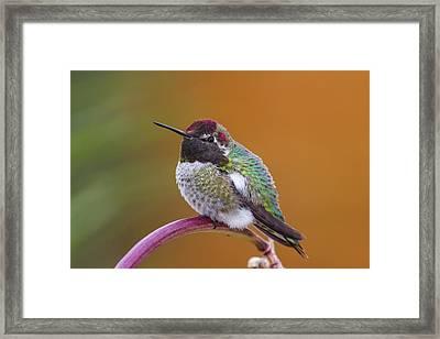 Anna's Hummingbird Framed Print by Jim and Lynne Weber
