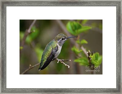 Anna's Hummingbird On Lime Tree Framed Print