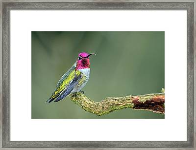 Anna's Hummingbird Sticking His Tounge Out Framed Print