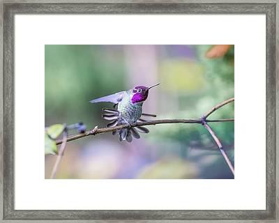Anna's Hummingbird Stretching Framed Print