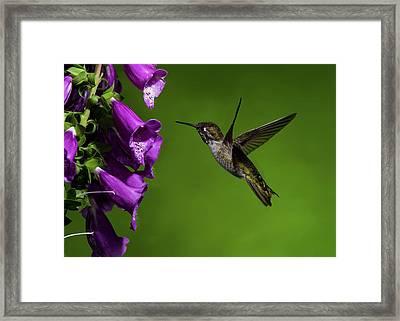 Framed Print featuring the photograph Anna's Hummingbird With Fox Glove Flowers by Lara Ellis