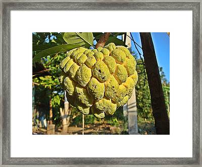 Annona Fruit Found In Thailand Framed Print by Wichit Phaephun