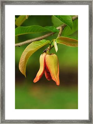 Annona Purpurea Flower Framed Print by Jason Pepe