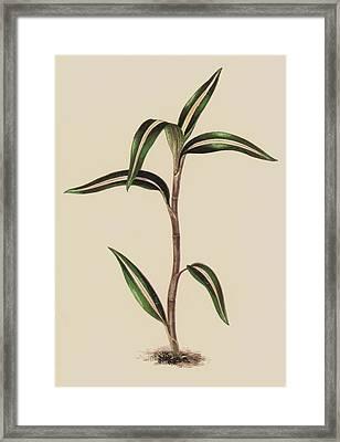 Anoectochilus Striatus Framed Print by English School