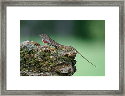 Anole Atop A Rock 2 Framed Print