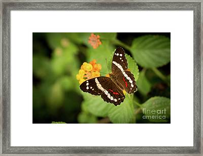 Another Day, Another Butterfly Framed Print by Ana V Ramirez