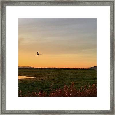 Another Iphone Shot Of The Swan Flying Framed Print