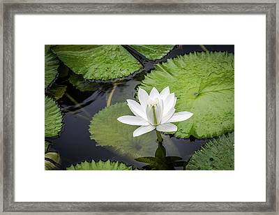 Another Lily Framed Print