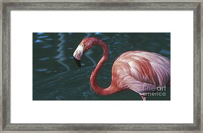 Another Tickled Pink Flamingo  Framed Print
