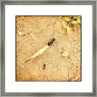 Ant At Work Framed Print by Marco Oliveira