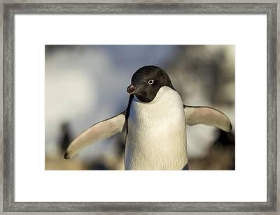 Antarctica, Petermann Island, Close-up Framed Print by Paul Souders