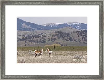 Antelope Framed Print by Carolyn Brown
