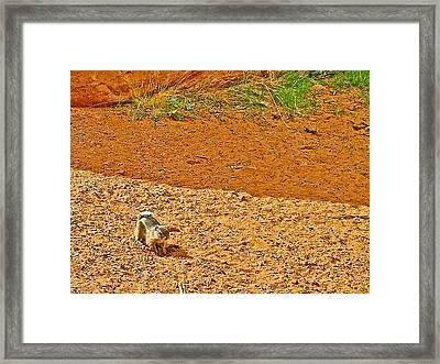 Antelope Ground Squirrel Along Mouse's Tank Trail In Valley Of Fire State Park-nevada Framed Print