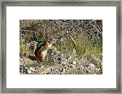 Antelope Ground Squirrel In Red Rock National Conservation Area-nevada Framed Print