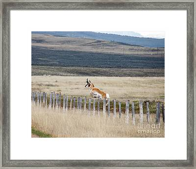 Framed Print featuring the photograph Antelope Jumping Fence 1 by Rebecca Margraf