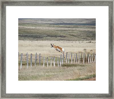 Framed Print featuring the photograph Antelope Jumping Fence 2 by Rebecca Margraf