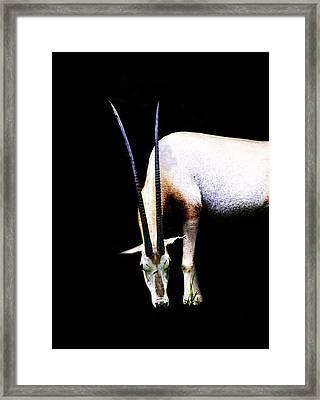 Antelope Framed Print