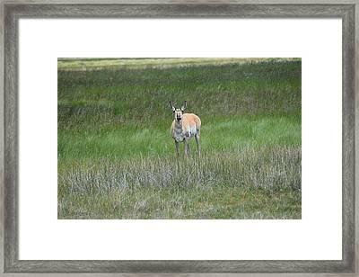 Prong Horned Antelope Lake John Swa Co Framed Print