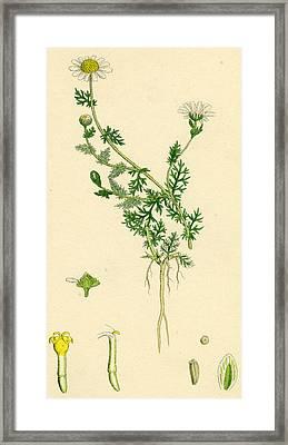 Anthemis Nobilis Common Chamomile Framed Print
