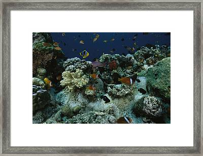 Anthias Fish, Anemonefish And Basslets Framed Print