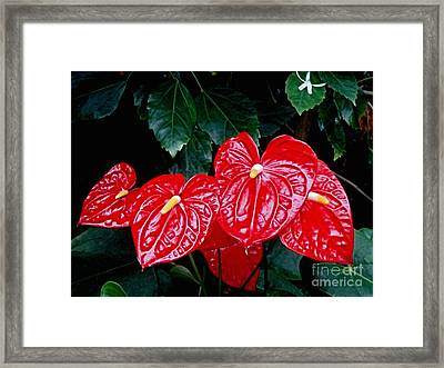 Anthurium Andreanum Framed Print by Yvonne Johnstone