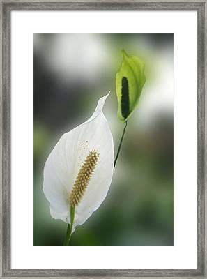 Anthurium Ark Flower Framed Print