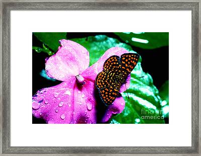 Antillean Crescent Butterfly On Impatiens Framed Print