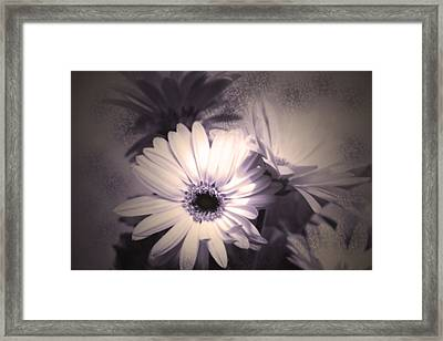 Antique Delicate Daisies  Framed Print