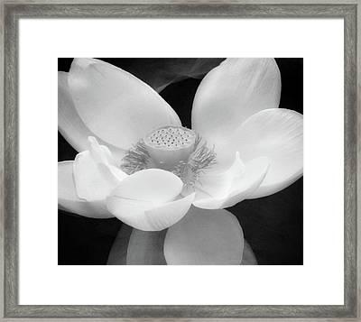 Antique Lotus Black And White Framed Print