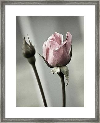 Antique Pink Rose Framed Print