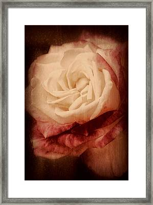 Antique Rose - In Full Bloom Framed Print by Angie Tirado