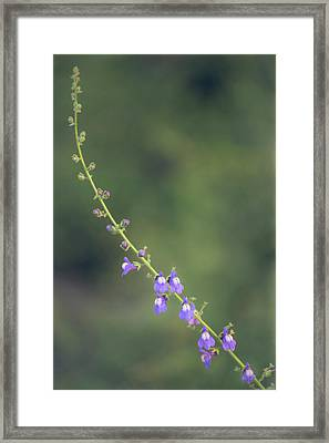 Framed Print featuring the photograph Antirrhinum Nuttallianum by Alexander Kunz