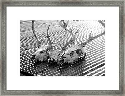 Antlers On Tin Roof Framed Print by Thomas R Fletcher