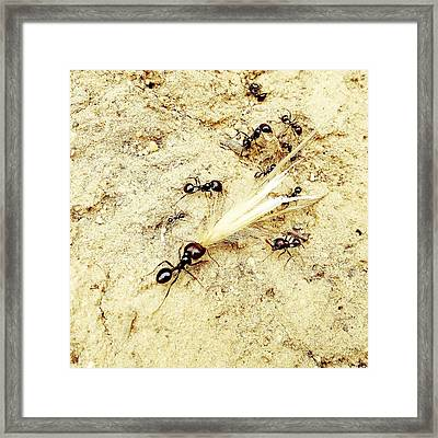 Ants At Work Framed Print by Marco Oliveira