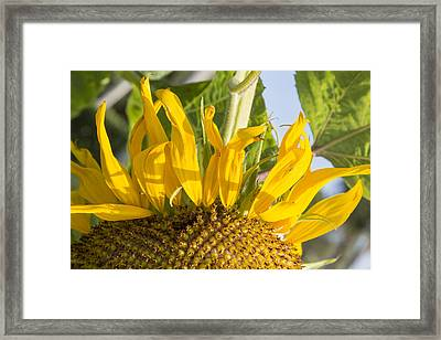 Ants On A Sunflower Framed Print