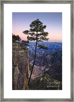 Apache Pine Tree - Mexico Framed Print by Greg Vaughn - Printscapes