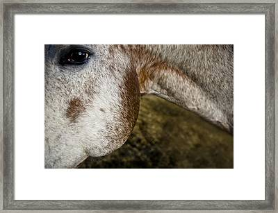 Appaloosa 2 Framed Print by Catherine Sobredo