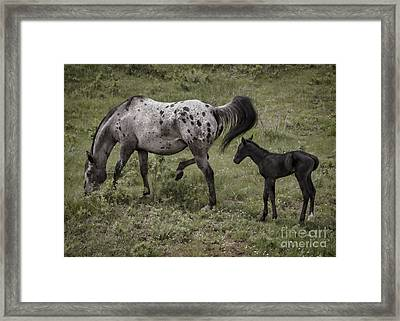 Appaloosa And Baby Framed Print