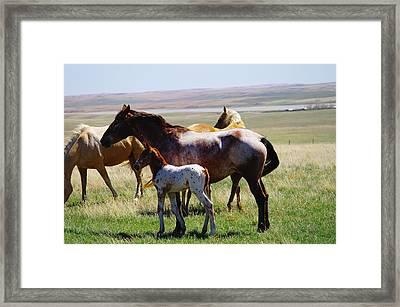 Appaloosa Colt Framed Print by Jeff Swan