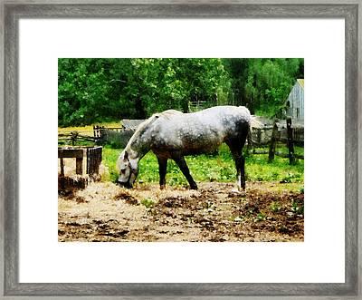 Appaloosa Eating Hay Framed Print