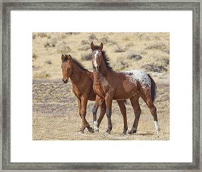 Appaloosa Mustang Foals Framed Print