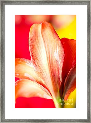 Apple Amaryllis Red Apple Amaryllis On A Pink And Yellow Background Framed Print by Andy Smy
