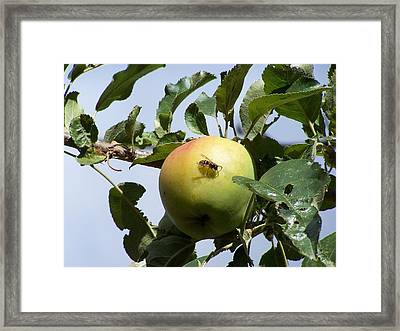 Apple Bee Framed Print by Gene Ritchhart