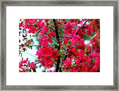 Apple Blooms Framed Print by Gigi Kobel
