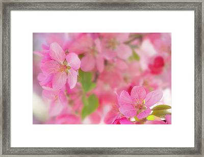 Apple Blossom 4 Framed Print by Leland D Howard