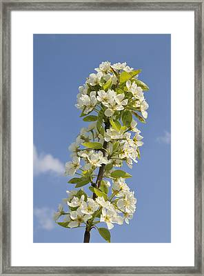Apple Blossom In Spring Framed Print